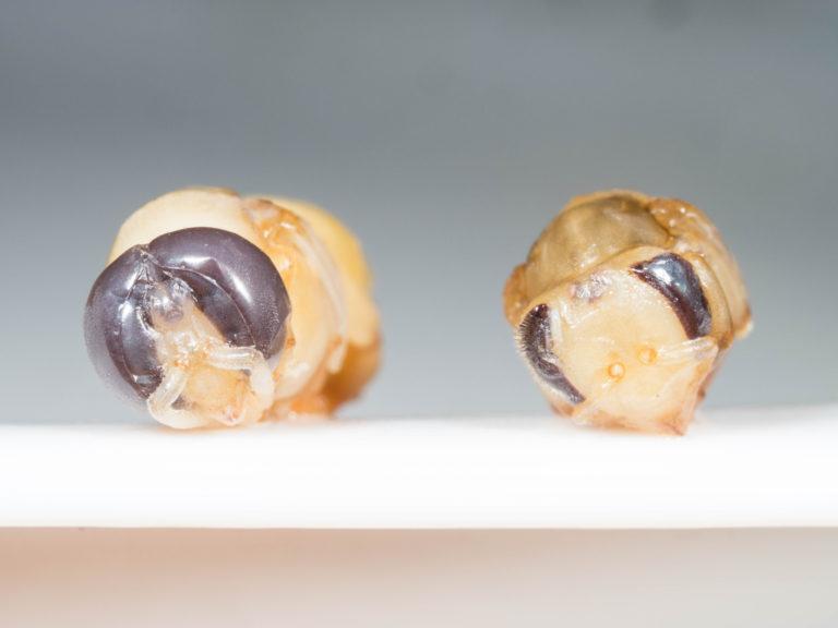 オオミツバチ Apis dorsata 味見