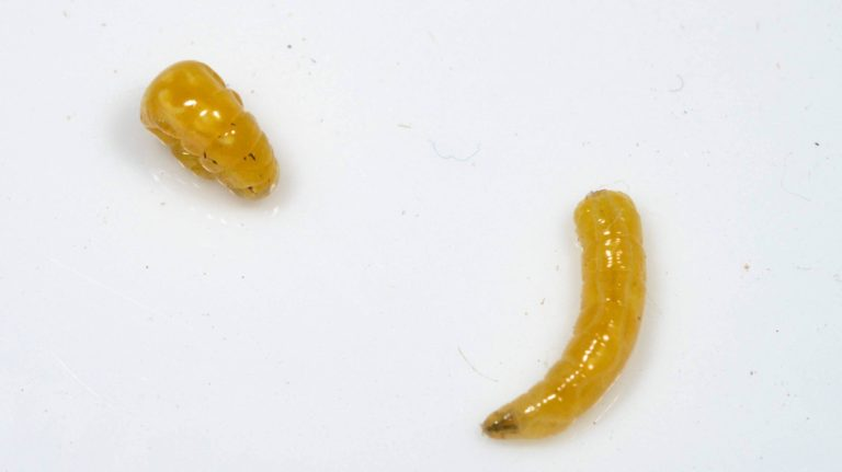 味見 セグロウリミバエ Bactrocera tau 幼虫